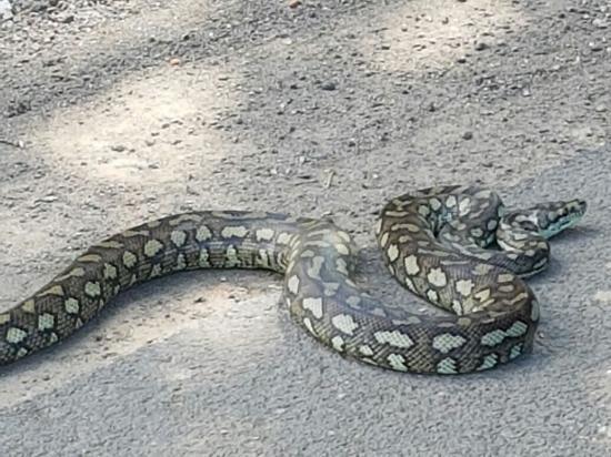 2016-08-16-australischer Python in Reinfeld